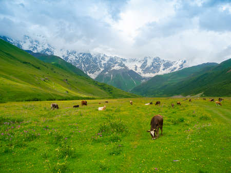 shkhara: Cows graze in the valley river Enguri in Svaneti, Georgia. Shkhara mountain in the background