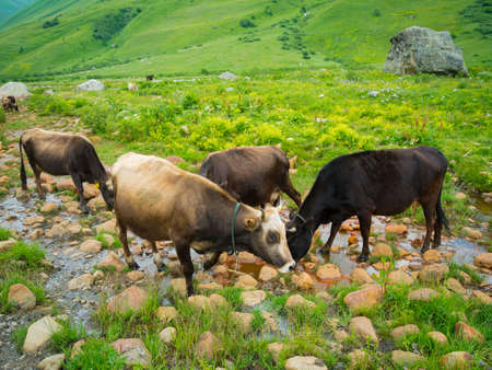 seltzer: Cows drink seltzer from a spring in the valley river Enguri in Svaneti, Georgia. Stock Photo