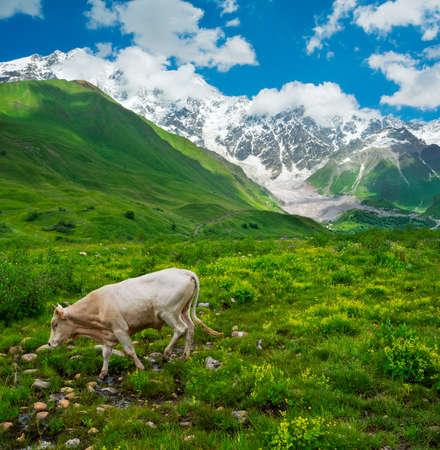ushguli: Beautiful meadow landscape near Ushguli, Svaneti, Georgia. Shkhara mountain in the background, cow on foreground Stock Photo