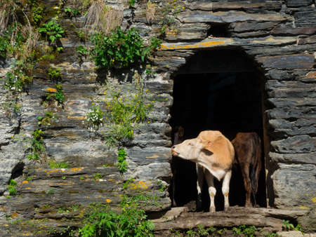 swanetia: Cows are hiding from the sun in abandoned houses in Ushguli, Svaneti, Georgia.
