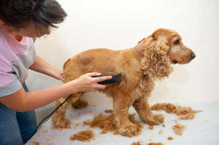 groomer: Female groomer haircut Cocker Spaniel Stock Photo