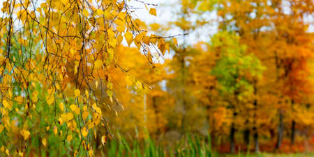 Autumn background yellow birch leaves on a branch photo