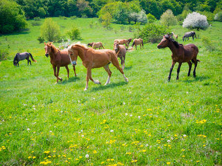 Horses galloping through the green pastures photo
