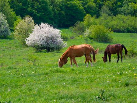 prato montagna: Cavalli al pascolo in un prato di montagna