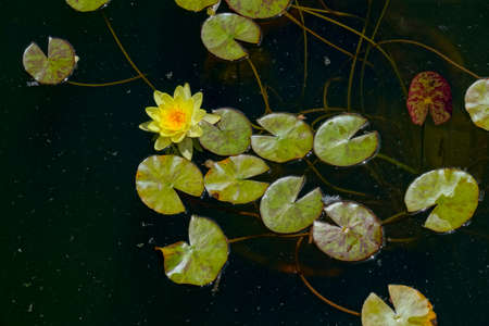 floating on water: Floating water lily in a pond