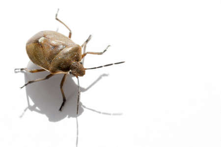 pentatomidae: Macro bug isolated Picromerus bidens Stock Photo