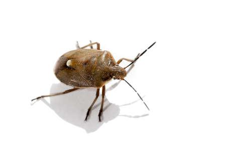 bedbug: Macro bug isolated Picromerus bidens Stock Photo