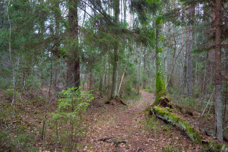 national scenic trail: Footpath in a pine forest in autumn Stock Photo