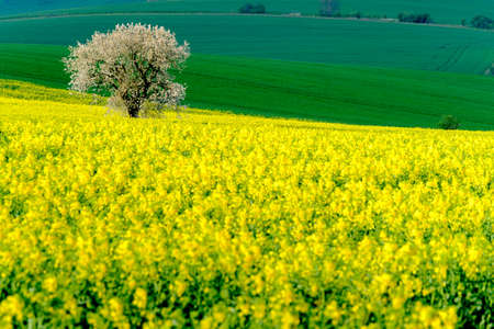 colza: Lonely tree on the blooming colza field at South Moravia