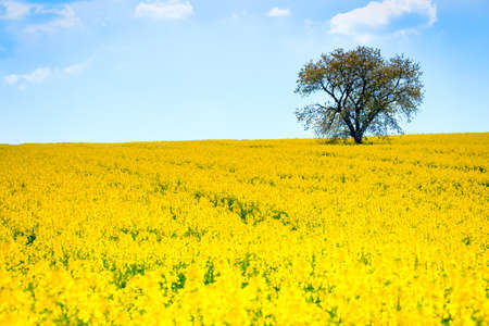 colza: Lonely tree on the blooming colza field, blue cloudy sky above Stock Photo
