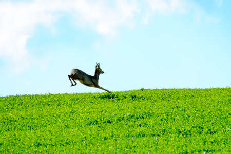roebuck: Deer jumps in a green field
