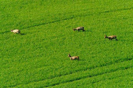 roebuck: Deers graze in a field Stock Photo