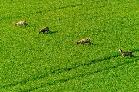 graze: Deers graze in a field Stock Photo
