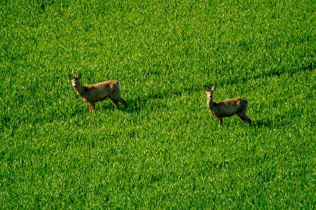 capreolus: Deers graze in a field Stock Photo