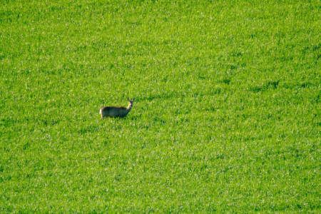 roebuck: Deer grazes in a field