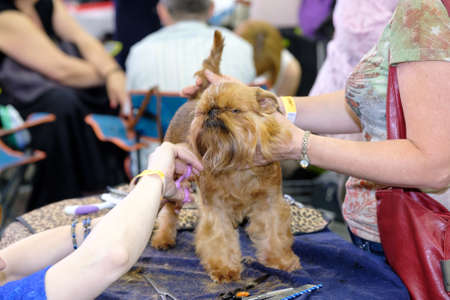 groomer: Groomer prepares the dog to the exhibition