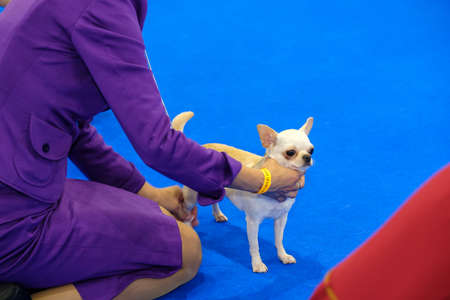 show ring: Dog at the ring on the show