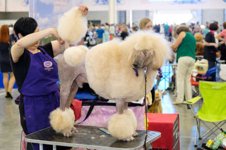 groomer: Moscow, Russia - June 25: Groomer prepares dog to the World Dog Show on June 25, 2016 in Crocus Expo Moscow Editorial