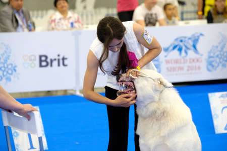 june 25: Moscow, Russia - June 25: Judge examining dog on the World Dog Show on June 25, 2016 in Crocus Expo Moscow