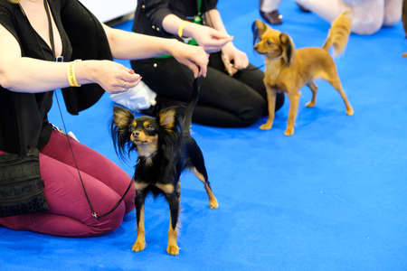 show ring: Moscow, Russia - June 25: Participants in the ring on the World Dog Show on June 25, 2016 in Crocus Expo Moscow
