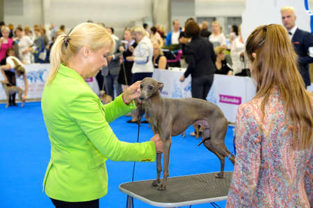 conformation: Moscow, Russia - June 25: Judge examining dog on the World Dog Show on June 25, 2016 in Crocus Expo Moscow