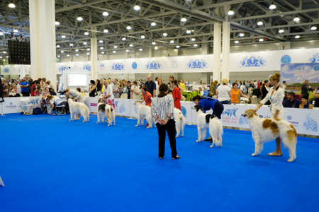 conformation: Moscow, Russia - June 25: Judge examining dogs on the World Dog Show on June 25, 2016 in Crocus Expo Moscow