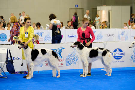 june 25: Moscow, Russia - June 25: Participants in the ring on the World Dog Show on June 25, 2016 in Crocus Expo Moscow
