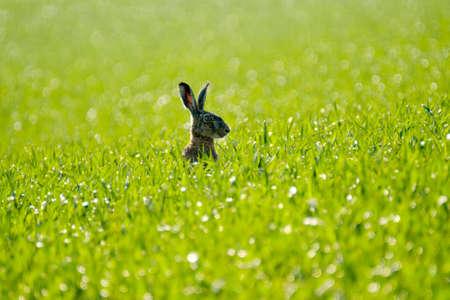 Wilde Hase im grünen Bereich. Rückansicht Standard-Bild