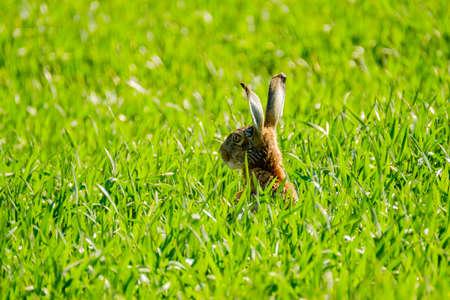 european rabbit: Wild hare in the green field