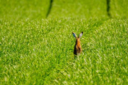 european rabbit: Wild hare in the green field. back view