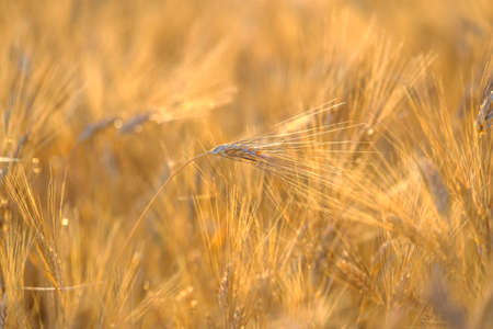 swaying: Mature wheat swaying in the wind in a field