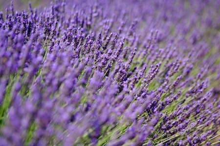 Blooming lavender in a field at Provence Stock Photo