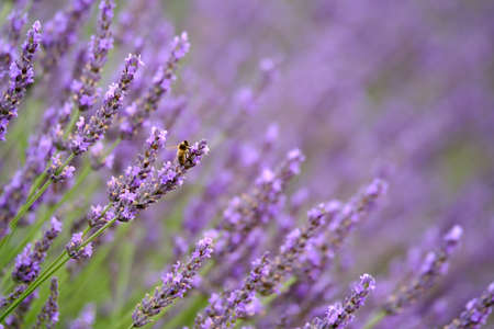 Bee on blooming lavender in a field at Provence