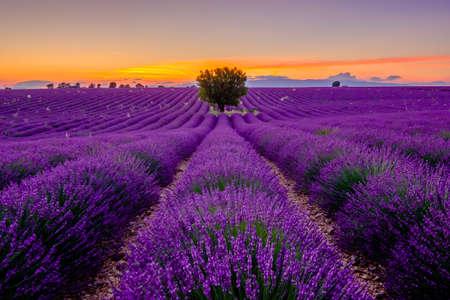 Arbre dans le champ de lavande au coucher du soleil en Provence, France Banque d'images