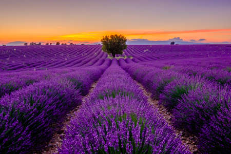 Tree in lavender field at sunset in Provence, France Stock Photo