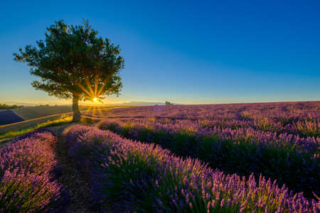 plateau of flowers: Tree in lavender field at sunset in Provence, France Stock Photo