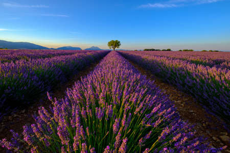 lavande: Tree in lavender field at sunset in Provence, France Stock Photo