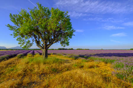 plateau of flowers: Tree in a field at Provence, France Stock Photo