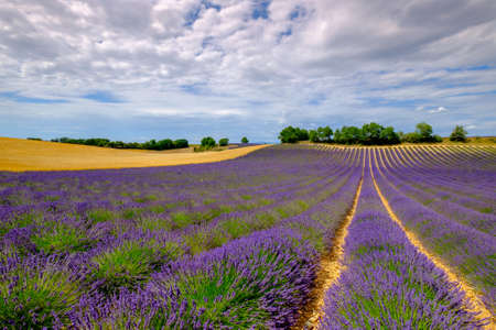 plateau: Lavender field at plateau Valensole, Provence, France