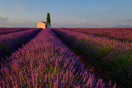 Champ de lavande au plateau de Valensole, Provence, France