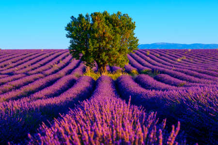plateau: Lavender field at plateau Valensole, Provence, France. Focus to the tree