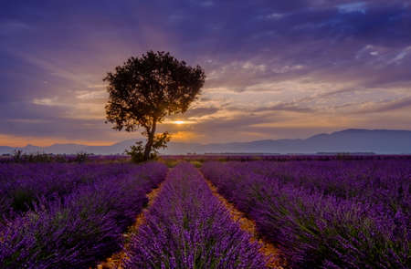 lavande: Tree in lavender field at sunrise in Provence, France Stock Photo