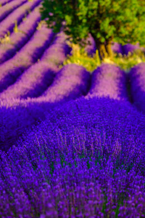 plateau of flowers: Lavender field at plateau Valensole, Provence, France