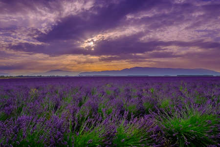 lavande: Lavender field at sunrise in Provence, France Stock Photo