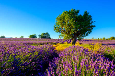 lavande: Tree in a field at Provence, France Stock Photo