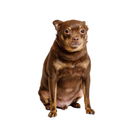 Overweight russian toy dog sitting isolated on white Stock Photo