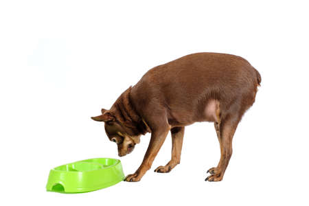 Always hungry overweight russian toy dog eating from a bowl isolated on white