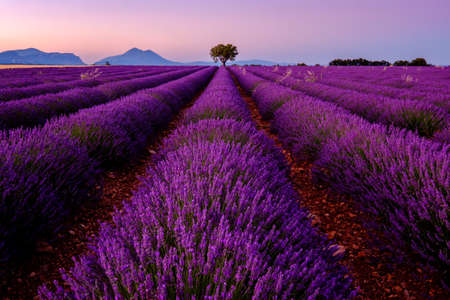 Tree in lavender field at sunrise in Provence, France Imagens