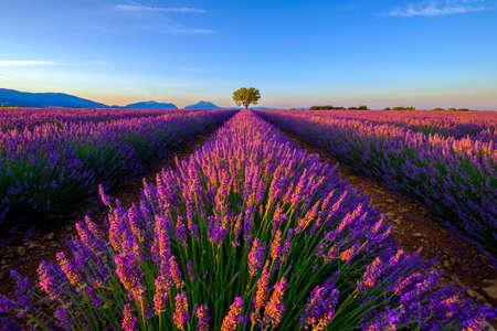 lavande: Tree in lavender field at sunrise in Provence, France Stock Photo