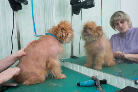 groomer: Woman groomer makes trimming Brussels Griffon gog